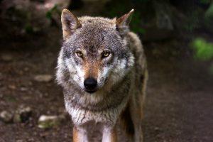 soul - wolf